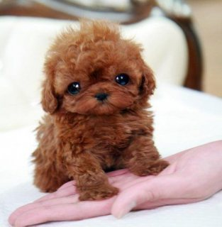 Trained teacup Poodle puppy
