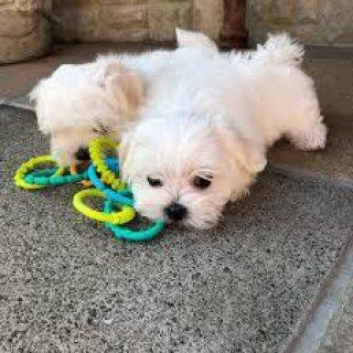 Cute Maltese pups for sale
