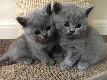 BRITISH SHORTHAIRED KITTENS  FOR SALE