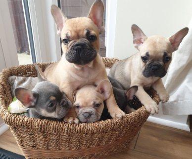 كلب بولدوج فرنسي لطيف للغاية يبلغ من العمر 10 أسابيع للبيع.