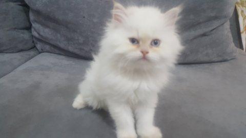 قطط برشن هملايا