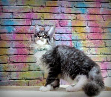 بيور تولد مين كون القطط