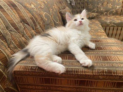 قطة انثى شيرازى