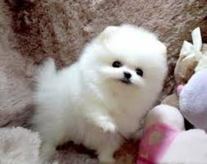 I have Teacup Pomeranian Puppies Available for sale?>>