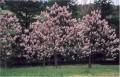 للبیع شتلات باولونیا اسرع شجره خشبیه تنمو علی المستوی فی العالم