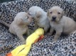 Tow adorable Male And Female labrador Puppies Ready For A New Ho