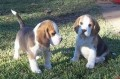 Cute Male and female Beagle puppies for sale
