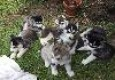 Quality Blue Eyes Siberian Husky Puppies Ready For Adoption