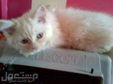 قطط شيرازيه جميله بسعر مغري
