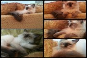 قطة ذكر هيمالايا شوكليت مون فيس عمر 5 اشهر ونص في الرياض