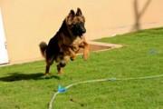 كلب جيرمن شيبر
