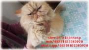 للبيع بسعر مغرى قطة شيرازى مشمشى نارى منتجة زرار توب التوب