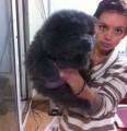 كلب شاوشاو للبيع