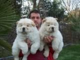 كلاب الاسد الصيني للبيع