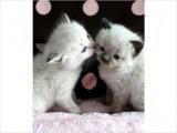 Ragdoll & Ragamuffin Kittens!