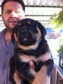كلب روت ويلر بيور عالي