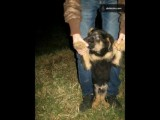 كلب جيرمن شيبرد بيور