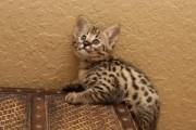 Beautiful Savannah kittens tica reg f2