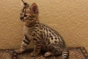 Stunning Savannah Kitten Available
