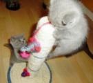 British Short Hair kittens for re-homing