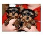 Yorkie Puppies,