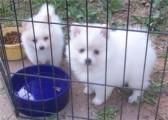 Pomeranian puppies for adoption,