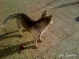 » للبيع كلب هاسكي انثي