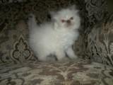 Himalayan kittens,,,