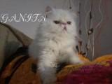 قطة بيكي بيضاء منتجة بسعر مميز
