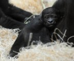 Beautiful Baby Gorilla for sale