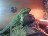 Male And Female Bearded Dragon With 3ft Vivarium