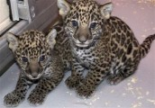 Well Tamed Siberian tiger cubs, lynx, lion cubs, cougar cubs, ja