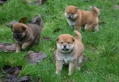 WONDERFUL HOME TRAINED SHIBA INU PUPPIES FOR FREE ADOPTION