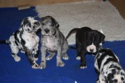 Gorgeous Beautiful Great Dane Puppies Born On Easter Sunday