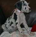 Two Cute great dane Puppies for sale