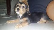 كلب استراليان تيرير للبيع