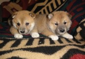 shiba inu puppies for free adoption