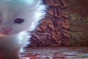 قطه شيرازي بيضاء عيونها زرقاء من اب امريكي متوفر ذكر او انثى