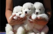Charming male and female Samoyed pups for adoption.