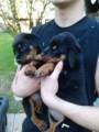 Outstanding Rottweiler Puppies