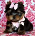 Sensitive Teacup Yorkshire Terrier Puppies