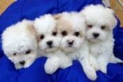 Little Maltese Pups