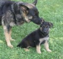 German Shepherd Puppy,,,,,