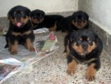 Purebred German Rottweilers for Sale