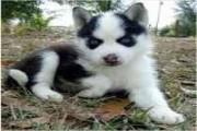 Blue Eyes Siberian Husky Puppies Available