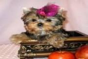 Affectionate Yorkie Puppy,,,
