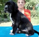 Great Dane puppies available for adoption