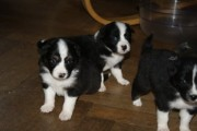 Australian Shepherd puppies for adoption
