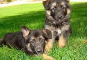 Affectionate cute male and female German shepherd puppies  For