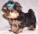 Male/Female Teacup Yorkie Puppies For Lovely Homes
